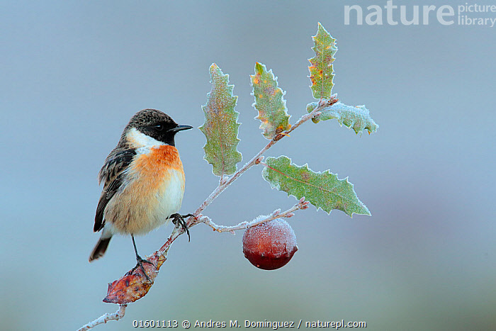 Common stonechat (Saxicola torquata) perched on frozen branch of Portuguese oak (Quercus faginea) Sierra de Grazalema Natural Park, southern Spain, January, Plant,Vascular plant,Flowering plant,Rosid,Oak,Animal,Wildlife,Vertebrate,Bird,Birds,Songbird,Old world flycatcher,Chat,Stonechat,Portuguese oak,Plantae,Plant,Tracheophyta,Vascular plant,Magnoliopsida,Flowering plant,Angiosperm,Seed plant,Spermatophyte,Spermatophytina,Angiospermae,Fagales,Rosid,Dicot,Dicotyledon,Rosanae,Fagaceae,Quercus,Oak,Oak tree,Animalia,Animal,Wildlife,Vertebrate,Aves,Bird,Birds,Passeriformes,Songbird,Passerine,Muscicapidae,Old world flycatcher,Flycatcher,Saxicola,Chat,Chat thrush,Saxicolinae,Saxicola rubicola,Stonechat,Common stonechat,Collared bush chat,Saxicola torquata,Europe,Southern Europe,Spain,Andalusia,Seed,Seeds,Acorn,Acorns,Reserve,Protected area,Natural Park,Quercus faginea,Portuguese oak,Tree,Trees, Andres M. Dominguez