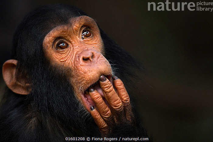 Eastern chimpanzee  (Pan troglodytes schweinfurtheii) infant male 'Fifty' aged 3 years portrait.Gombe National Park, Tanzania., Animal,Wildlife,Vertebrate,Mammal,Ape,Great ape,Chimpanzee,Eastern chimpanzee,Animalia,Animal,Wildlife,Vertebrate,Mammalia,Mammal,Primate,Primates,Hominidae,Ape,Great ape,Hominoidea,Pan,Pan troglodytes,Chimpanzee,Common Chimpanzee,Cute,Adorable,Africa,East Africa,Tanzania,Copy Space,Close Up,Portrait,Young Animal,Baby,Baby Mammal,Male Animal,Reserve,Eastern chimpanzee,Protected area,National Park,Negative space,Infant,Endangered species,Endangered,Threatened,, catalogue11, Fiona Rogers