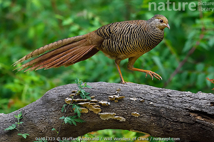 Golden pheasant (Chrysolophus pictus) female  walking over a branch, Yangxian Biosphere Reserve, Shaanxi, China, Animal,Wildlife,Vertebrate,Bird,Birds,Pheasant,Golden pheasant,Animalia,Animal,Wildlife,Vertebrate,Aves,Bird,Birds,Galliformes,Galliforms,Galloanserae,Phasianidae,Chrysolophus,Pheasant,Phasianinae,Chrysolophus pictus,Golden pheasant,Walking,Waking Up,Waking,Asia,East Asia,China,Female animal,Reserve,Protected area,Moving,UNESCO Biosphere Reserve,Movement,Yangxian Biosphere Reserve,Gamebird,Gamebirds,Game bird, Staffan Widstrand / Wild Wonders of China