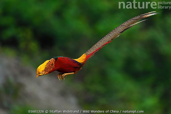 Golden pheasant (Chrysolophus pictus) male jumping, Yangxian Biosphere Reserve, Shaanxi, China, Animal,Wildlife,Vertebrate,Bird,Birds,Pheasant,Golden pheasant,Animalia,Animal,Wildlife,Vertebrate,Aves,Bird,Birds,Galliformes,Galliforms,Galloanserae,Phasianidae,Chrysolophus,Pheasant,Phasianinae,Chrysolophus pictus,Golden pheasant,Flying,Jumping,Landing,Asia,East Asia,China,Copy Space,Profile,Side View,Male Animal,Reserve,Protected area,Negative space,Moving,UNESCO Biosphere Reserve,Movement,Yangxian Biosphere Reserve,Gamebird,Gamebirds,Game bird, Staffan Widstrand / Wild Wonders of China
