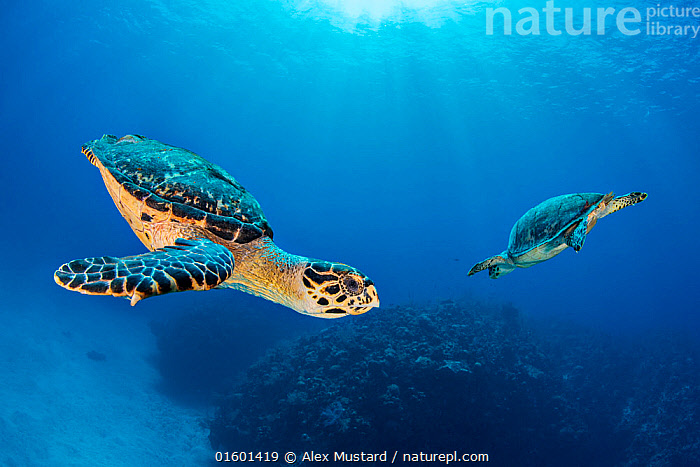 Hawksbill turtle (Eretmochelys imbricata) pair circling each other above coral reef. Seven Mile Beach, Grand Cayman, Cayman Islands, British West Indies. Caribbean Sea., Animal,Wildlife,Vertebrate,Reptile,Testitudine,Sea turtles,Hawksbill Turtle,Animalia,Animal,Wildlife,Vertebrate,Reptilia,Reptile,Chelonii,Testitudine,Cheloniidae,Sea turtles,Turtle,Eretmochelys,Eretmochelys imbricata,Hawksbill Turtle,Testudo imbricata,Chelonia radiata,Chelone imbricata,Swimming,Mood,Calm,Two,The Caribbean,Cayman Islands,Copy Space,Cutout,Profile,Side View,Tropical,Seabed,Ocean,Caribbean Sea,Marine,Underwater,Water,Male female pair,Saltwater,Biodiversity hotspots,Negative space,Grand Cayman,Seven Mile Beach,Endangered species,threatened,Critically endangered,, catalogue11, Alex Mustard