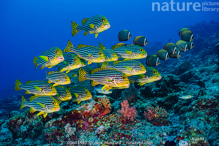 RF - Oriental sweetlips (Plectorhinchus vittatus)l and Redtail butterflyfish (Chaetodon collare) schools in coral reef. Lankan Island, North Male Atoll, Maldives. Indian Ocean.  ,  Animal,Wildlife,Vertebrate,Ray-finned fish,Percomorphi,Butterflyfish,Brown Butterflyfish,Grunt,Sweetlip,Oriental thicklip,Animalia,Animal,Wildlife,Vertebrate,Actinopterygii,Ray-finned fish,Osteichthyes,Bony fish,Fish,Perciformes,Percomorphi,Acanthopteri,Chaetodontidae,Butterflyfish,Chaetodon,Chaetodon collare,Brown Butterflyfish,Collare Butterflyfish,Collared Butterflyfish,Pakistani Butterflyfish,Redtail Butterflyfish,Red Tailed Butterflyfish,Chaetodon collaris,Chaetodon fowleri,Chaetodon parallelus,Haemulidae,Grunt,Plectorhinchus,Sweetlip,Rubberlip,Plectorhinchus vittatus,Oriental thicklip,Oriental blubber-lips,Indian ocean oriental sweetlips,Oriental sweetlips,Perca vittata,Plectorhinchus orientalis,Anthias orientalis,Swimming,Direction,Togetherness,Colour,Colourful,Group Of Animals,School,Group,Pattern,Spotted,Stripes,Maldives,Maldive Islands,Republic of Maldives,Profile,Side View,Tropical,Seabed,Reef,Reefs,Coral Reef,Coral Reefs,Ocean,Indian Ocean,Marine,Water,Mixed species,Saltwater,Indian Ocean Islands,Purpose,RF,Royalty free,RF4,Marine  ,  Alex Mustard