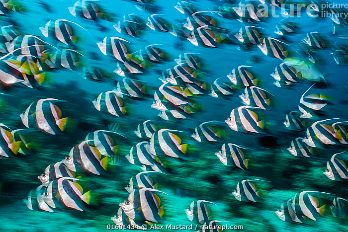 RF -  Bannerfish (Heniochus diphreutes) schooling in coral reef. Long exposure. North Male Atoll, Maldives. Indian Ocean. (This image may be licensed either as rights managed or royalty free.)  ,  Animal,Wildlife,Vertebrate,Ray-finned fish,Percomorphi,Butterflyfish,Bannerfish,False Moorish Idol,Animalia,Animal,Wildlife,Vertebrate,Actinopterygii,Ray-finned fish,Osteichthyes,Bony fish,Fish,Perciformes,Percomorphi,Acanthopteri,Chaetodontidae,Butterflyfish,Heniochus,Bannerfish,Heniochus diphreutes,False Moorish Idol,Pennantfish,Schooling Bannerfish,Schooling Coachman,Heniochus diphreustes,Swimming,Direction,Togetherness,Group Of Animals,School,Group,Large Group,Pattern,Stripes,Maldives,Maldive Islands,Republic of Maldives,Full Frame,Profile,Side View,Photographic Effect,Blurred Motion,Blurred Movement,Long Exposure,Tropical,Ocean,Indian Ocean,Marine,Underwater,Water,Arty shots,Saltwater,Indian Ocean Islands,Purpose,RF,Royalty free,RF4,Marine  ,  Alex Mustard