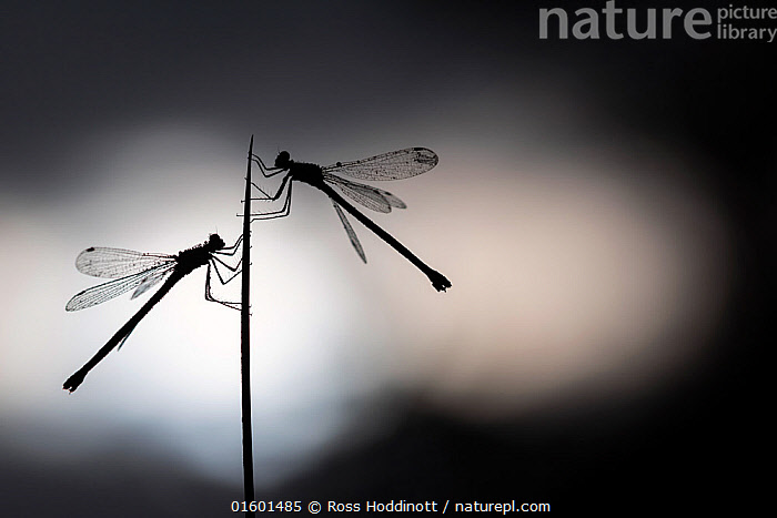 RF - Silhouetted emerald damselflies (Lestes sponsa) resting on a reed, Devon, England, UK. August. (This image may be licensed either as rights managed or royalty free.)  ,  Animal,Wildlife,Arthropod,Insect,Pterygota,Spreadwing,Emerald damselfly,Animalia,Animal,Wildlife,Hexapoda,Arthropod,Invertebrate,Hexapod,Arthropoda,Insecta,Insect,Odonata,Pterygota,Lestidae,Spreadwing,Spreadwing damselfly,Damselfly,Zygoptera,Lestes,Lestes sponsa,Emerald damselfly,Common spreadwing,Agrion sponsa,Lestes autumnalis,Lestes nymphaeides,Resting,Rest,Two,Europe,Western Europe,UK,Great Britain,England,Devon,Back Lit,Arty shots,Silhouette,RF,Royalty free,RF4,  ,  Ross Hoddinott