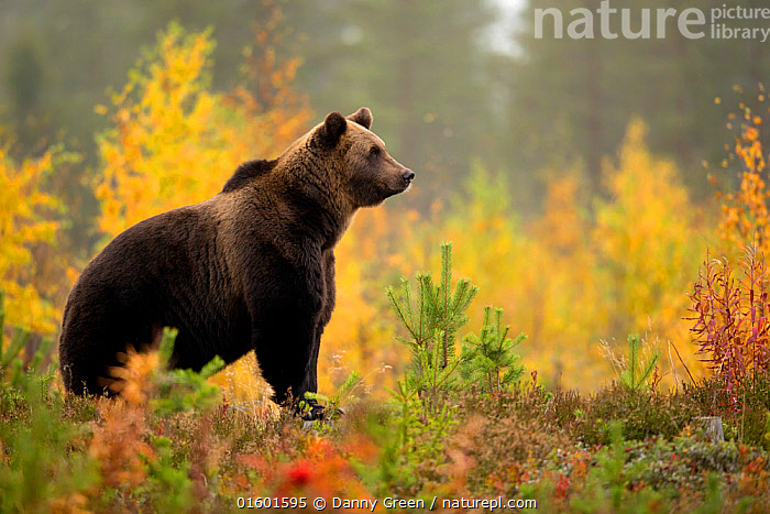 Brown bear (Ursus arctos) in autumnal forest, Finland, September, Animal,Wildlife,Vertebrate,Mammal,Carnivore,Bear,Brown Bear,Animalia,Animal,Wildlife,Vertebrate,Mammalia,Mammal,Carnivora,Carnivore,Ursidae,Bear,Ursus,Ursus arctos,Brown Bear,Colour,Yellow,Europe,Northern Europe,North Europe,Nordic Countries,Finland,Autumn,Boreal forest,Habitat,Forest,,, catalogue11, Danny Green