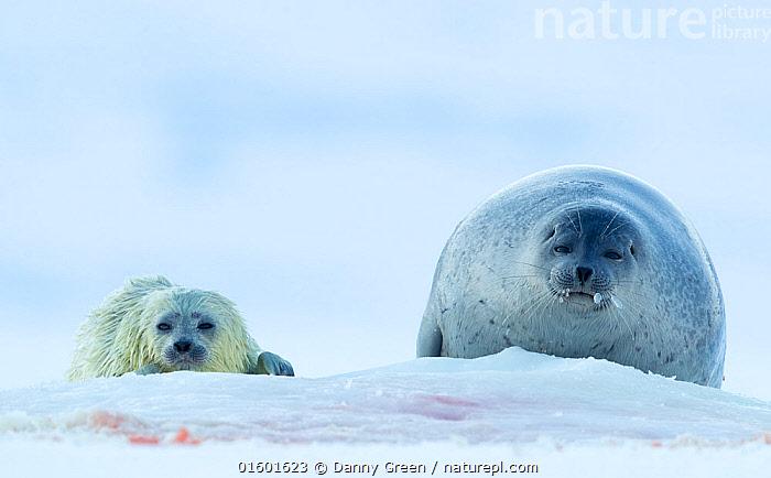 Ringed seal  (Phoca hispida) female hauled out with pup, Svalbard, Norway, April  ,  Animal,Wildlife,Vertebrate,Mammal,Carnivore,True seal,Fjord Seal,Arctic,Animalia,Animal,Wildlife,Vertebrate,Mammalia,Mammal,Carnivora,Carnivore,Phocidae,True seal,Pinnipeds,pinnipedia,Pusa,Pusa hispida,Fjord Seal,Jar Seal,Ringed Seal,Phoca hispida,Europe,Northern Europe,North Europe,Nordic Countries,Scandinavia,Norway,Svalbard,Young Animal,Baby,Baby Mammal,Pup,Pups,Snow,Family,Mother baby,Mother,Parent baby,Hauled out,Arctic,Marine  ,  Danny Green