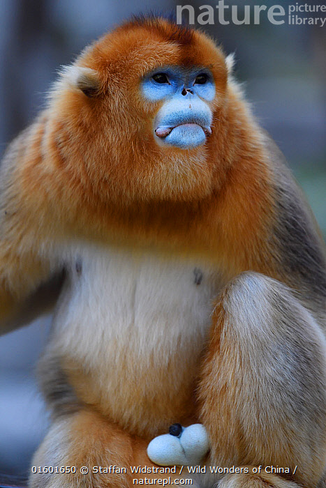 Portrait of a male Golden snub-nosed monkey (Rhinopithecus roxellana) Foping Nature Reserve, Shaanxi, China. Endangered species  ,  Animal,Wildlife,Vertebrate,Mammal,Monkey,Snub nosed monkeys,Golden Snub-nosed Monkey,Genitals,Reproductive organs,Reproduction,Sex organ,Animalia,Animal,Wildlife,Vertebrate,Mammalia,Mammal,Primate,Primates,Cercopithecidae,Monkey,Old World Monkeys,Rhinopithecus,Snub nosed monkeys,Rhinopithecus roxellana,Golden Snub-nosed Monkey,Sichuan Golden Snub-nosed Monkey,Colour,Blue,Asia,East Asia,China,Male Animal,Nature,Nature Reserve,Reserve,Reproductive system,Genitalia,Protected area,Penis,Genitals,Reproductive organs,Reproduction,Sex organ,Testicles,Testis,Endangered species,threatened,Endangered  ,  Staffan Widstrand / Wild Wonders of China