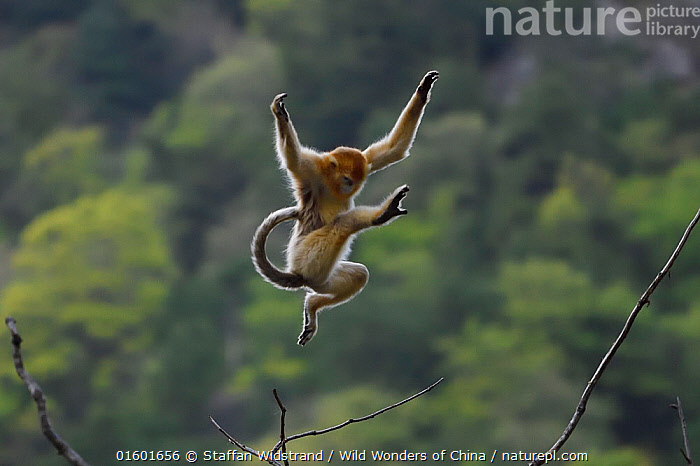 Golden snub-nosed monkey (Rhinopithecus roxellana) jumping from branch to branch, Foping Nature Reserve, Shaanxi, China. Endangered species, Animal,Wildlife,Vertebrate,Mammal,Monkey,Snub nosed monkeys,Golden Snub-nosed Monkey,Animalia,Animal,Wildlife,Vertebrate,Mammalia,Mammal,Primate,Primates,Cercopithecidae,Monkey,Old World Monkeys,Rhinopithecus,Snub nosed monkeys,Rhinopithecus roxellana,Golden Snub-nosed Monkey,Sichuan Golden Snub-nosed Monkey,Jumping,Agility,Agile,Asia,East Asia,China,Nature,Nature Reserve,Reserve,Forest,Protected area,Moving,Acrobatic,Movement,Endangered species,threatened,Endangered,, catalogue11, Staffan Widstrand / Wild Wonders of China