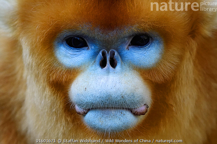 Portrait of a Golden snub-nosed monkey (Rhinopithecus roxellana) full frame of the face, Foping Nature Reserve, Shaanxi, China. Endangered species, Animal,Wildlife,Vertebrate,Mammal,Monkey,Snub nosed monkeys,Golden Snub-nosed Monkey,Animalia,Animal,Wildlife,Vertebrate,Mammalia,Mammal,Primate,Primates,Cercopithecidae,Monkey,Old World Monkeys,Rhinopithecus,Snub nosed monkeys,Rhinopithecus roxellana,Golden Snub-nosed Monkey,Sichuan Golden Snub-nosed Monkey,Colour,Blue,Asia,East Asia,China,Close Up,Portrait,Animal Eye,Eyes,Animal Nose,Nature,Nature Reserve,Reserve,Protected area,Direct Gaze,Endangered species,threatened,Endangered,, catalogue11, Staffan Widstrand / Wild Wonders of China