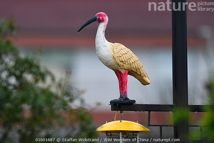 Statue of a Crested ibis (Nipponia nippon) as decoration in the Yangxian Biosphere Reserve, Shaanxi, China, Animal,Wildlife,Vertebrate,Bird,Birds,Ibis,Japanese crested ibis,Animalia,Animal,Wildlife,Vertebrate,Aves,Bird,Birds,Pelecaniformes,Threskiornithidae,Nipponia,Ibis,Ibe,Ibide,Threskiornithinae,Nipponia nippon,Japanese crested ibis,Crested ibis,Japanese ibis,Japanese white ibis,Oriental crested ibis,Oriental ibis,Asia,East Asia,China,Art,Sculpture,Sculptures,Statue,Animals in art,Animals-in-art,Endangered species,threatened,Endangered, Staffan Widstrand / Wild Wonders of China