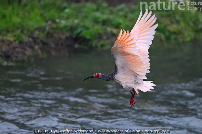 Crested ibis (Nipponia nippon) in breeding colours, flying over water in Yangxian Biosphere Reserve, Shaanxi, China, April., Animal,Wildlife,Vertebrate,Bird,Birds,Ibis,Japanese crested ibis,Animalia,Animal,Wildlife,Vertebrate,Aves,Bird,Birds,Pelecaniformes,Threskiornithidae,Nipponia,Ibis,Ibe,Ibide,Threskiornithinae,Nipponia nippon,Japanese crested ibis,Crested ibis,Japanese ibis,Japanese white ibis,Oriental crested ibis,Oriental ibis,Flying,Asia,East Asia,China,Endangered species,threatened,Endangered,, catalogue11, Staffan Widstrand / Wild Wonders of China