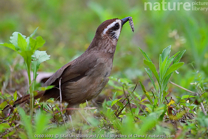 White-browed laughing-thrush (Garrulax sannio) feeding on a worm in Yangxian Biosphere Reserve, Shaanxi, China, Foraging,Asia,East Asia,China,Animal,Feeding,Reserve,Protected area,UNESCO Biosphere Reserve,, Staffan Widstrand / Wild Wonders of China