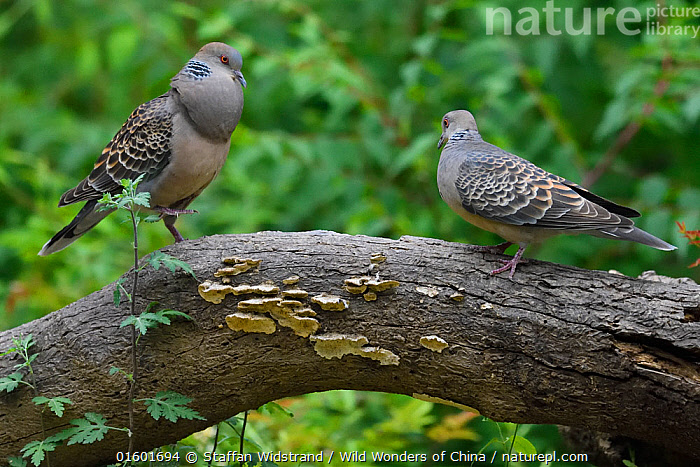 Oriental turtle doves (Streptopelia chinensis), male in courtship display to female, Yangxian Biosphere Reserve, Shaanxi, China, Animal,Wildlife,Vertebrate,Bird,Birds,Dove,Spotted turtle dove,Animalia,Animal,Wildlife,Vertebrate,Aves,Bird,Birds,Columbiformes,Dove,Pigeon,Columbidae,Spilopelia,Spilopelia chinensis,Spotted turtle dove,Laceneck dove,Necklace dove,Spot necked dove,Spotted necked dove,Indian turtle dove,Chinese turtle dove,Pearl necked dove,Streptopelia chinensis,Vocalisation,Calling,Courting,Two,Asia,East Asia,China,Animal Behaviour,Reproduction,Mating Behaviour,Courtship,Reserve,Male female pair,Behaviour,Protected area,UNESCO Biosphere Reserve,Behavioural,, Staffan Widstrand / Wild Wonders of China