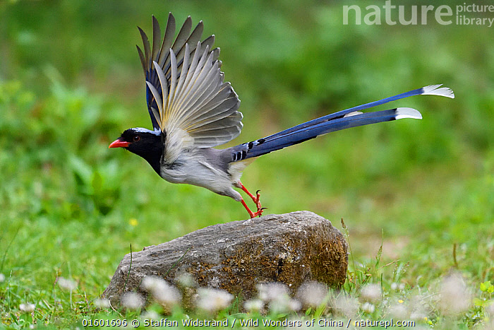 Red-billed blue magpie (Urocissa erythroryncha) taking off from a stone in Yangxian Biosphere Reserve, Shaanxi, China, Animal,Wildlife,Vertebrate,Bird,Birds,Songbird,Red billed blue magpie,Animalia,Animal,Wildlife,Vertebrate,Aves,Bird,Birds,Passeriformes,Songbird,Passerine,Corvidae,Corvid,Urocissa,Urocissa erythroryncha,Red billed blue magpie,Blue magpie,Red billed magpie,Red billed blue pie,Corvus erythrorynchus,Urocissa erythrorhyncha,Flying,Taking Off,Asia,East Asia,China,Reserve,Protected area,UNESCO Biosphere Reserve,, Staffan Widstrand / Wild Wonders of China