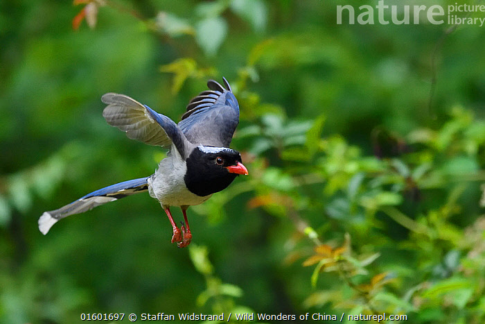 Red-billed blue magpie (Urocissa erythroryncha) flying, Yangxian Biosphere Reserve, Shaanxi, China, Animal,Wildlife,Vertebrate,Bird,Birds,Songbird,Red billed blue magpie,Animalia,Animal,Wildlife,Vertebrate,Aves,Bird,Birds,Passeriformes,Songbird,Passerine,Corvidae,Corvid,Urocissa,Urocissa erythroryncha,Red billed blue magpie,Blue magpie,Red billed magpie,Red billed blue pie,Corvus erythrorynchus,Urocissa erythrorhyncha,Flying,Asia,East Asia,China,Reserve,Protected area,UNESCO Biosphere Reserve,, Staffan Widstrand / Wild Wonders of China