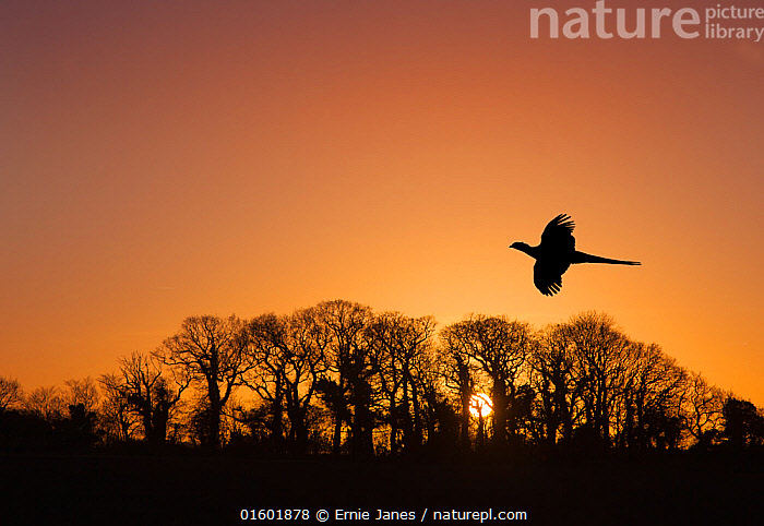 Pheasant (Phasianus colchicus) male flying to roost at sunset with trees silhouetted  in background England, UK. December., Animal,Wildlife,Vertebrate,Bird,Birds,Pheasant,Animalia,Animal,Wildlife,Vertebrate,Aves,Bird,Birds,Galliformes,Galliforms,Galloanserae,Phasianidae,Phasianus,Pheasant,Phasianinae,Phasianus colchicus,Common pheasant,Ring necked pheasant,Flying,Europe,Western Europe,UK,Great Britain,England,Back Lit,Sunset,Setting Sun,Sunsets,Winter,Silhouette,Dusk,Gamebird,Gamebirds,Game bird,Game birds,, catalogue11, Ernie  Janes