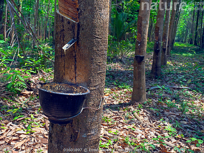 Rubber tree (Hevea brasiliensis) tapping with bucket full of latex, Thailand.  ,  Plant,Vascular plant,Flowering plant,Rosid,Spurge,Rubber tree,Plantae,Plant,Tracheophyta,Vascular plant,Magnoliopsida,Flowering plant,Angiosperm,Seed plant,Spermatophyte,Spermatophytina,Angiospermae,Malpighiales,Rosid,Dicot,Dicotyledon,Rosanae,Euphorbiaceae,Spurge,Euphorb,Hevea,Hevea brasiliensis,Rubber tree,Para rubber tree,Hevea camargoana,Hevea granthamii,Siphonia janeirensis,Tapping,Asia,South East Asia,Thailand,Tree,Rubber,Latex,Latexes,Harvesting,  ,  Ernie  Janes