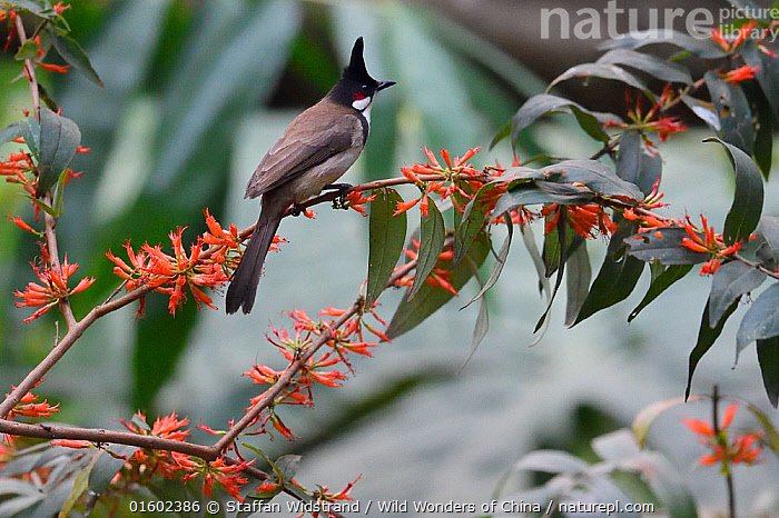 Red-whiskered bulbul (Pycnonotus jocosus) perched on abranch with orange flowers in  Hong Bung He, Dehong, Yunnan, China  ,  Animal,Wildlife,Vertebrate,Bird,Birds,Songbird,Bulbul,Red whiskered bulbul,Animalia,Animal,Wildlife,Vertebrate,Aves,Bird,Birds,Passeriformes,Songbird,Passerine,Pycnonotidae,Bulbul,Pycnonotus,Pycnonotus jocosus,Red whiskered bulbul,Asia,East Asia,China,Plant,Flower,Yunnan Province,  ,  Staffan Widstrand / Wild Wonders of China