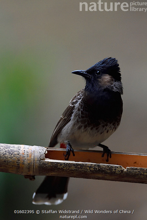Red-vented bulbul (Pycnonotus cafer) perched on a branch in the forest of Hong Bung He, Dehong, Yunnan, China  ,  Animal,Wildlife,Vertebrate,Bird,Birds,Songbird,Bulbul,Red vented bulbul,Animalia,Animal,Wildlife,Vertebrate,Aves,Bird,Birds,Passeriformes,Songbird,Passerine,Pycnonotidae,Bulbul,Pycnonotus,Pycnonotus cafer,Red vented bulbul,Molpastes cafer,Molpastes haemorrhous,Pycnonotus pygaeus,Asia,East Asia,China,Yunnan Province,  ,  Staffan Widstrand / Wild Wonders of China
