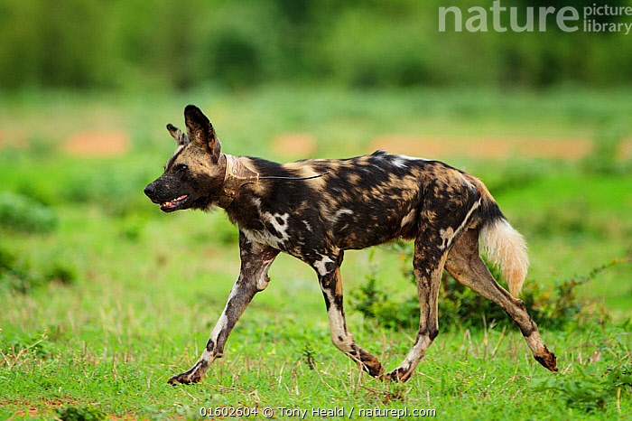 African wild dog (Lycaon pictus) walking through grassland with radio collar showing. Mana Pools National Park, Zimbabwe., Animal,Wildlife,Vertebrate,Mammal,Carnivore,Canid,Dog,African Wild Dog,Animalia,Animal,Wildlife,Vertebrate,Mammalia,Mammal,Carnivora,Carnivore,Canidae,Canid,Lycaon,Dog,Lycaon pictus,African Wild Dog,Cape Hunting Dog,Painted Hunting Dog,Walking,Trotting,Africa,Zimbabwe,Southern Africa,Profile,Side View,Equipment,Wildlife Tracking Tag,Tag,Grassland,Reserve,Protected area,National Park,Conservation equipment,Radio trackers,Radio collars,Negative space,Moving,Tagged,Mana Pools National Park,Movement,Endangered species,threatened,Endangered, Tony Heald
