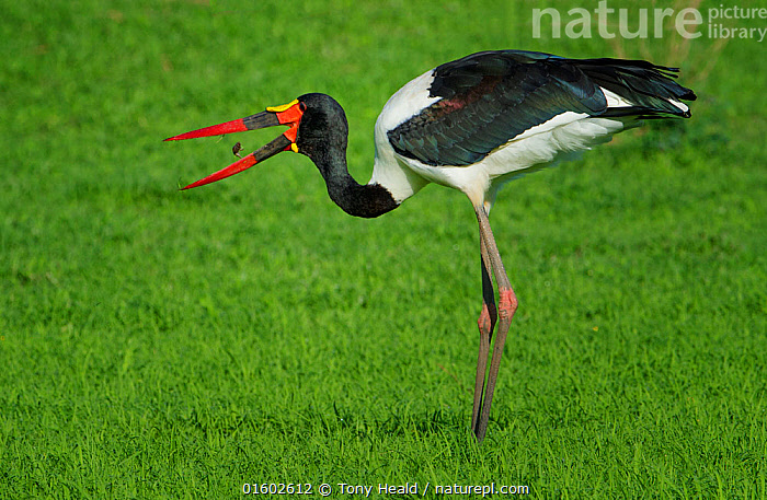 Saddle-billed stork (Ephippiorhhynchus senegalensis), male feeding on insects. Mana Pools National Park, Zimbabwe., Colour,Height,Tall,High,Length,Long,Lengthy,Africa,Zimbabwe,Southern Africa,Profile,Side View,Animal,Male Animal,Animal Legs,Legs,Leg,Mouth,Grassland,Feeding,Reserve,Protected area,National Park,Open Mouth,Mana Pools National Park,Black and white,, Tony Heald