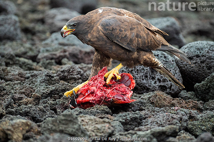 Galapagos hawk (Buteo galapagoensis) scavenging on tuna. A group of the sea lion bulls have learnt to herd Pelagic yellowfin tuna into a small cove, trapping them. The fish often leap ashore in an effort to escape. Punta Albemarle, Isabela Island, Galapagos., Animal,Wildlife,Vertebrate,Bird,Birds,Buzzard,Galapagos hawk,Animalia,Animal,Wildlife,Vertebrate,Aves,Bird,Birds,Accipitriformes,Accipitridae,Buteo,Buzzard,Hawk,Bird of prey,Raptor,Buteo galapagoensis,Galapagos hawk,Dead,Dead Animal,Carcass,Latin America,South America,Galapagos Islands,Galapagos,Marine,Coastal waters,Water,Death,Saltwater,Biodiversity hotspot,Isabela Island,Fish,Galapagos National Park,UNESCO World Heritage Site,Endangered species,threatened,Vulnerable, Tui De Roy