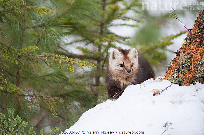 Sable (Martes zibellina) Irkutsk, Siberia, Russia. March., Animal,Wildlife,Vertebrate,Mammal,Carnivore,Mustelid,Marten,Japanese sable,Animalia,Animal,Wildlife,Vertebrate,Mammalia,Mammal,Carnivora,Carnivore,Mustelidae,Mustelid,Martes,Marten,Martes zibellina,Japanese sable,Sable,Russia,Siberia,Snow,Winter,, Valeriy Maleev