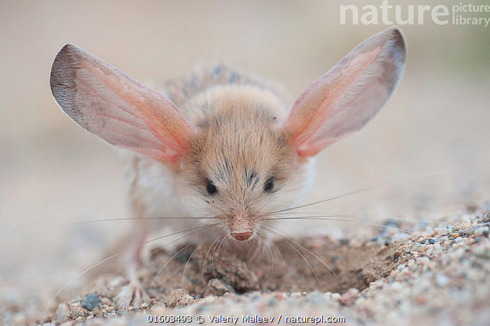 Long-eared jerboa (Euchoreutes naso) digging, South Gobi Desert, Mongolia. June. Did you know that the Long-eared jerboa is the mammal with the largest ears in proportion to its body size?, Animal,Wildlife,Vertebrate,Mammal,Rodent,Long eared jerboa,Long-eared jerboa,Animalia,Animal,Wildlife,Vertebrate,Mammalia,Mammal,Rodentia,Rodent,Dipodidae,Euchoreutes,Long eared jerboa,Euchoreutes naso,Long-eared jerboa,Euchoreutes alashanicus,Euchoreutes yiwuensis,Bizarre,Weird,Cute,Adorable,Humorous,Asia,East Asia,Mongolia,Independent Mongolia,Outer Mongolia,Ear,Animal Ears,Ears,,, catalogue11, Valeriy Maleev