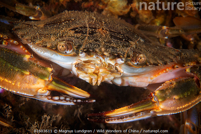 Lady crab (Charybdis japonica). Gulf of Bohai, Yellow Sea. Penglai / Dengzhou / Tengchow, Yantai, Shandong Province, China., Animal,Wildlife,Crustacean,Decapod,Swimming crab,Animalia,Animal,Wildlife,Crustracea,Crustacean,Malacostraca,Decapoda,Decapod,Portunidae,Swimming crab,Charybdis,Colour,Brown,Asia,East Asia,China,Close Up,Front View,Claw,Claws,Pincers,Marine,Underwater,Water,Temperate,Arthropod,Arthropods,Saltwater,Sea,Invertebrate,Direct Gaze,Yellow Sea,Bohai Sea,Bo Sea,Bohai Gulf,Charybdis japonica,Lady crab,Asian paddle crab,Marine, Magnus Lundgren / Wild Wonders of China
