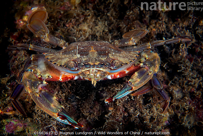 Lady crab (Charybdis japonica). Gulf of Bohai, Yellow Sea. Penglai / Dengzhou / Tengchow, Yantai, Shandong Province, China., Animal,Wildlife,Crustacean,Decapod,Swimming crab,Animalia,Animal,Wildlife,Crustracea,Crustacean,Malacostraca,Decapoda,Decapod,Portunidae,Swimming crab,Charybdis,Colour,Brown,Asia,East Asia,China,Front View,Claw,Claws,Pincers,Seabed,Marine,Underwater,Water,Temperate,Arthropod,Arthropods,Saltwater,Sea,Invertebrate,Yellow Sea,Bohai Sea,Bo Sea,Bohai Gulf,Charybdis japonica,Lady crab,Marine, Magnus Lundgren / Wild Wonders of China