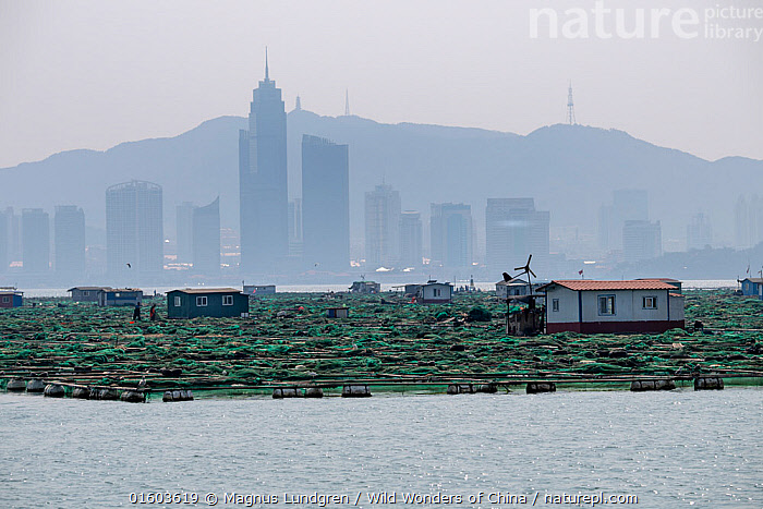 Fish and mussel farms with city skyline and hills in background. Zhifu Island, Shandong Province. Bohai Sea, Yellow Sea, China. September 2017., Asia,East Asia,China,Back Lit,City,Skyline,Skylines,Building,Skyscraper,Skyscrapers,Landscape,Fishing Industry,Fishing Industries,Marine,Water,Silhouette,Saltwater,Sea,Fisheries,Fishery,Aquaculture,Aquafarming,Fish farming,Fishing,Yellow Sea,Bohai Sea,Bo Sea,Bohai Gulf,, Magnus Lundgren / Wild Wonders of China