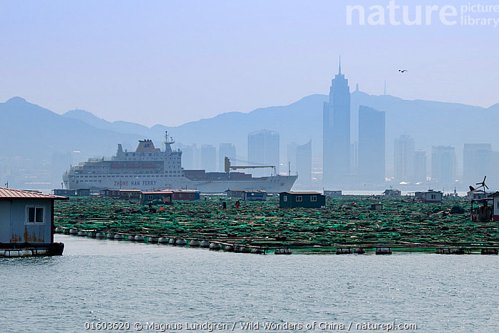 Fish and mussel farms with ferry and city skyline in background. Zhifu Island, Shandong Province. Bohai Sea, Yellow Sea, China. September 2017., Asia,East Asia,China,City,Skyline,Skylines,Building,Skyscraper,Skyscrapers,Ferry,Ferries,Boat,Passenger Ship,Landscape,Fishing Industry,Fishing Industries,Marine,Water,Working-boats,Saltwater,Sea,Fisheries,Fishery,Aquaculture,Aquafarming,Fish farming,Fishing,Yellow Sea,Bohai Sea,Bo Sea,Bohai Gulf,, Magnus Lundgren / Wild Wonders of China