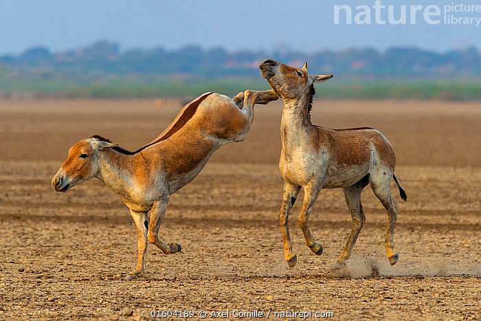 Asiatic wild ass (Equus hemionus khur), young males fighting, with one kicking opponent, Little Rann of Kutch, Gujarat, India  ,  Animal,Wildlife,Vertebrate,Mammal,Odd toed ungulate,Asian Wild Ass,Indian wild ass,Animalia,Animal,Wildlife,Vertebrate,Mammalia,Mammal,Perissodactyla,Odd toed ungulate,Equidae,Equus,Equus hemionus,Asian Wild Ass,Asiatic Wild Ass,Kulan,Kicking,Kick,Kicks,Asia,Indian Subcontinent,India,Male Animal,Habitat,Animal Behaviour,Aggression,Fighting,Behaviour,Onager,Gujarat,Behavioural,Equus hemionus khur,Indian wild ass,Endangered species,threatened,Endangered,, catalogue11  ,  Axel  Gomille