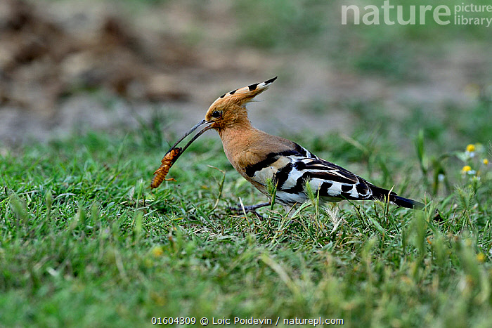 Hoopoe (Upupa epops) feeding on European mole cricket (Gryllotalpa gryllotalpa). Danube Delta, Romania. May.  ,  Animal,Wildlife,Arthropod,Insect,Orthopterida,Mole cricket,European mole cricket,Vertebrate,Bird,Birds,Hoopoe,Animalia,Animal,Wildlife,Hexapoda,Arthropod,Invertebrate,Hexapod,Arthropoda,Insecta,Insect,Orthoptera,Orthopterida,Gryllotalpidae,Mole cricket,Grylloidea,Ensifera,Gryllotalpa,Gryllotalpinae,Gryllotalpa gryllotalpa,European mole cricket,Acheta gryllotalpa,Gryllotalpa vulgaris,Gryllus talpa,Vertebrate,Aves,Bird,Birds,Bucerotiformes,Upupidae,Hoopoe,Upupa,Upupa epops,Common hoopoe,Eurasian hoopoe,Pattern,Stripes,Europe,Eastern Europe,East Europe,Romania,Profile,Side View,Feeding,Prey,  ,  Loic Poidevin