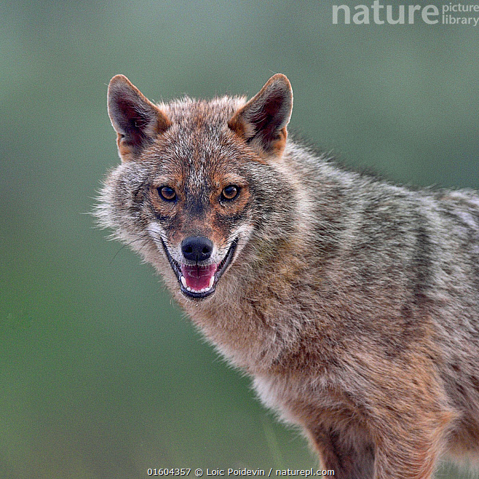 Golden jackal (Canis aureus) portrait. Danube Delta, Romania, May., Animal,Wildlife,Vertebrate,Mammal,Carnivore,Canid,Asiatic Jackal,Animalia,Animal,Wildlife,Vertebrate,Mammalia,Mammal,Carnivora,Carnivore,Canidae,Canid,Canis,Canis aureus,Asiatic Jackal,Common Jackal,Golden Jackal,Facial Expression,Laughing,Mouth Open,Smiling,Europe,Eastern Europe,East Europe,Romania,Copy Space,Side View,Portrait,Direct Gaze,Negative space,,, catalogue11, Loic Poidevin