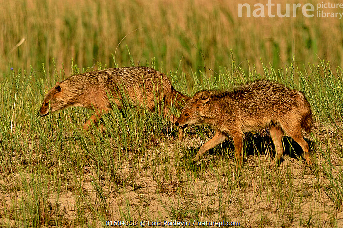 Golden jackals (Canis aureus), two walking through grass. Danube Delta, Romania, May.  ,  Animal,Wildlife,Vertebrate,Mammal,Carnivore,Canid,Asiatic Jackal,Animalia,Animal,Wildlife,Vertebrate,Mammalia,Mammal,Carnivora,Carnivore,Canidae,Canid,Canis,Canis aureus,Asiatic Jackal,Common Jackal,Golden Jackal,Walking,Two,Europe,Eastern Europe,East Europe,Romania,Profile,Side View,Plant,Grass Family,Grass,Grasses,Grassland,Two animals,Moving,Movement,  ,  Loic Poidevin