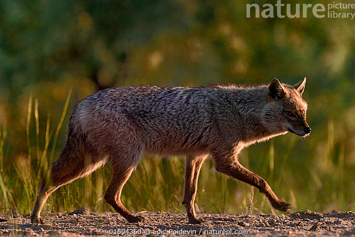 Golden jackal (Canis aureus) walking on sand. Danube Delta, Romania, May.  ,  Animal,Wildlife,Vertebrate,Mammal,Carnivore,Canid,Asiatic Jackal,Animalia,Animal,Wildlife,Vertebrate,Mammalia,Mammal,Carnivora,Carnivore,Canidae,Canid,Canis,Canis aureus,Asiatic Jackal,Common Jackal,Golden Jackal,Walking,Europe,Eastern Europe,East Europe,Romania,Copy Space,Profile,Side View,Negative space,Moving,Movement,,, catalogue11  ,  Loic Poidevin