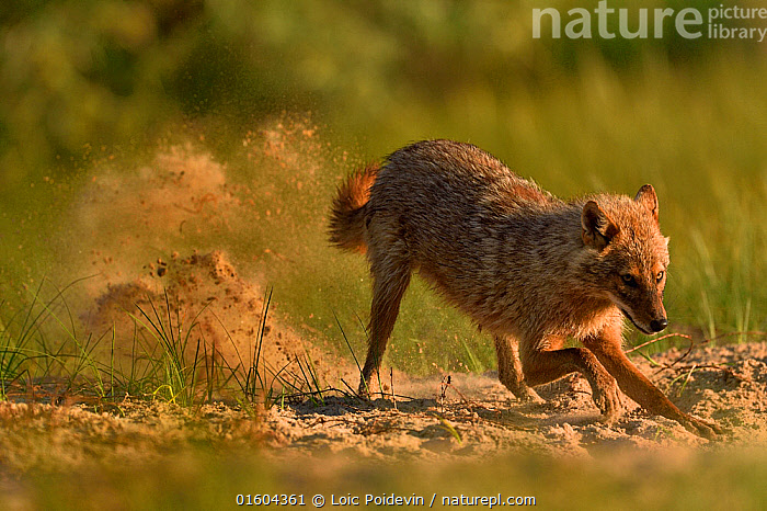 Golden jackal (Canis aureus) digging with sand flying behind. Danube Delta, Romania, May.  ,  Animal,Wildlife,Vertebrate,Mammal,Carnivore,Canid,Asiatic Jackal,Animalia,Animal,Wildlife,Vertebrate,Mammalia,Mammal,Carnivora,Carnivore,Canidae,Canid,Canis,Canis aureus,Asiatic Jackal,Common Jackal,Golden Jackal,Digging,Motion,Europe,Eastern Europe,East Europe,Romania,Copy Space,Side View,Sands,Negative space,  ,  Loic Poidevin