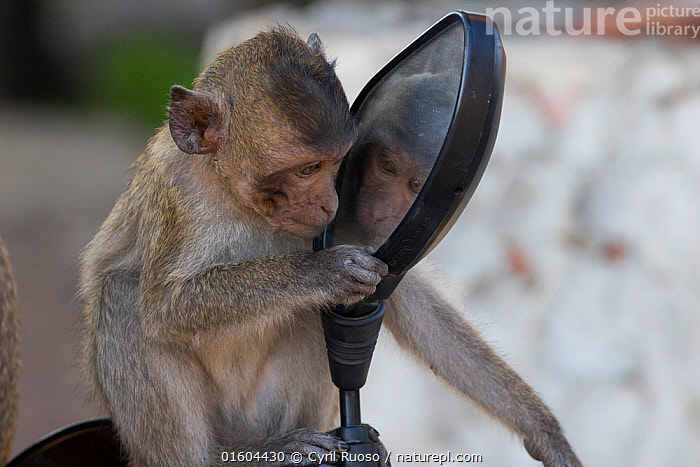 Long tailed macaque (Macaca fascicularis) juvenile playing with mirror, Gulf of  Thailand, Thailand., Animal,Wildlife,Vertebrate,Mammal,Monkey,Macaque,Crab-eating Macaque,Animalia,Animal,Wildlife,Vertebrate,Mammalia,Mammal,Primate,Primates,Cercopithecidae,Monkey,Old World Monkeys,Macaca,Macaque,Papionini,Macaca fascicularis,Crab-eating Macaque,Cynomolgus Monkey,Long-tailed Macaque,Curiosity,Asia,South East Asia,Thailand,Young Animal,Juveniles,Equipment,Mirror,Mirrored,Mirrors,Reflection,, Cyril Ruoso