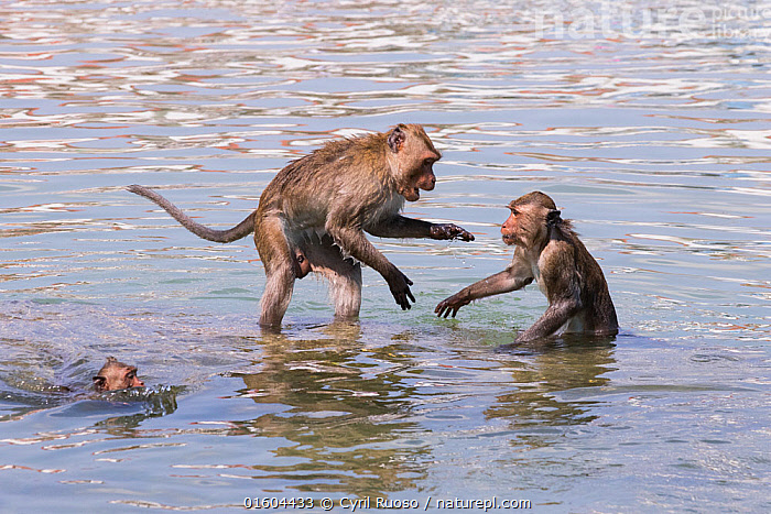 Long tailed macaque (Macaca fascicularis) troupe playing in the sea, Thailand., Animal,Wildlife,Vertebrate,Mammal,Monkey,Macaque,Crab-eating Macaque,Animalia,Animal,Wildlife,Vertebrate,Mammalia,Mammal,Primate,Primates,Cercopithecidae,Monkey,Old World Monkeys,Macaca,Macaque,Papionini,Macaca fascicularis,Crab-eating Macaque,Cynomolgus Monkey,Long-tailed Macaque,Swimming,Asia,South East Asia,Thailand,Coast,Marine,Coastal,Water,Animal Behaviour,Playing,Behaviour,Saltwater,Sea,Plays,Play,Playful,Behavioural,, Cyril Ruoso