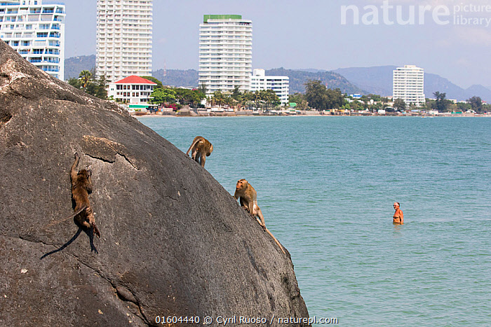 Long tailed macaques (Macaca fascicularis) playing on cliffs above the sea wtih town buidings in background, Thailand, Animal,Wildlife,Vertebrate,Mammal,Monkey,Macaque,Crab-eating Macaque,Animalia,Animal,Wildlife,Vertebrate,Mammalia,Mammal,Primate,Primates,Cercopithecidae,Monkey,Old World Monkeys,Macaca,Macaque,Papionini,Macaca fascicularis,Crab-eating Macaque,Cynomolgus Monkey,Long-tailed Macaque,Asia,South East Asia,Thailand,City,Cliff,Coast,Coastal,Animal Behaviour,Playing,Behaviour,Plays,Play,Playful,Behavioural,, Cyril Ruoso