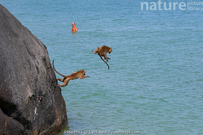 Long tailed macaques (Macaca fascicularis) playing on cliffs, jumping into the sea near city, Thailand, Animal,Wildlife,Vertebrate,Mammal,Monkey,Macaque,Crab-eating Macaque,Animalia,Animal,Wildlife,Vertebrate,Mammalia,Mammal,Primate,Primates,Cercopithecidae,Monkey,Old World Monkeys,Macaca,Macaque,Papionini,Macaca fascicularis,Crab-eating Macaque,Cynomolgus Monkey,Long-tailed Macaque,Jumping,Asia,South East Asia,Thailand,Coast,Coastal,Animal Behaviour,Playing,Behaviour,Plays,Play,Playful,Moving,Behavioural,Movement,, Cyril Ruoso