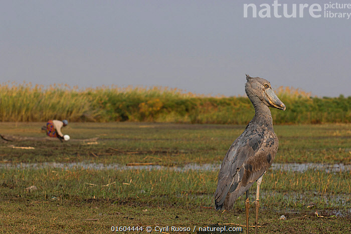 Shoebill (Balaeniceps rex) with person in the background, Bengweulu Swamp, Zambia  ,  Animal,Wildlife,Vertebrate,Bird,Birds,Shoebill,Whale headed stork,Animalia,Animal,Wildlife,Vertebrate,Aves,Bird,Birds,Pelecaniformes,Balaenicipitidae,Shoebill,Balaeniceps,Balaeniceps rex,Whale headed stork,Whalehead,Shoe billed stork,Bog Bird,Shoebill stork,Africa,Zambia,Southern Africa,Wetland,Swamp,Habitat,Endangered species,threatened,Vulnerable  ,  Cyril Ruoso