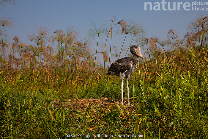 Shoebill (Balaeniceps rex) chick, age two months at the nest. Bengweulu Swamp, Zambia  ,  Animal,Wildlife,Vertebrate,Bird,Birds,Shoebill,Whale headed stork,Animalia,Animal,Wildlife,Vertebrate,Aves,Bird,Birds,Pelecaniformes,Balaenicipitidae,Shoebill,Balaeniceps,Balaeniceps rex,Whale headed stork,Whalehead,Shoe billed stork,Bog Bird,Shoebill stork,Bizarre,Weird,Africa,Zambia,Southern Africa,Young Animal,Baby,Chick,Animal Home,Nest,Wetland,Swamp,Habitat,Endangered species,threatened,Vulnerable  ,  Cyril Ruoso