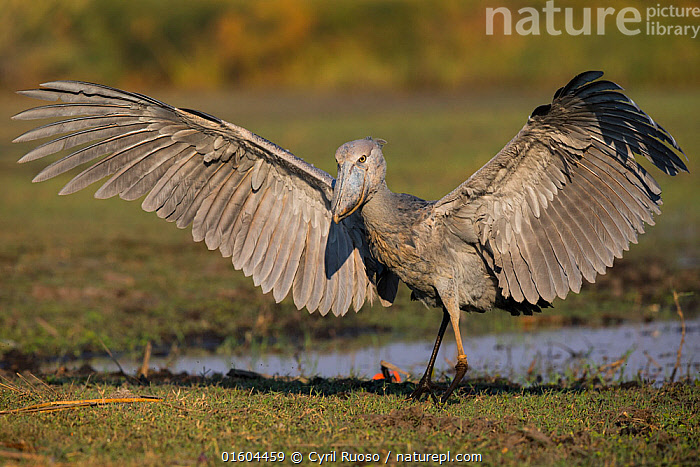 Shoebill (Balaeniceps rex)  landing. Bengweulu Swamp, Zambia.  ,  Animal,Wildlife,Vertebrate,Bird,Birds,Shoebill,Whale headed stork,Animalia,Animal,Wildlife,Vertebrate,Aves,Bird,Birds,Pelecaniformes,Balaenicipitidae,Shoebill,Balaeniceps,Balaeniceps rex,Whale headed stork,Whalehead,Shoe billed stork,Bog Bird,Shoebill stork,Africa,Zambia,Southern Africa,Wing,Wetland,Swamp,Habitat,Animal Behaviour,Display,Behaviour,Displaying,Wings spread,Wingspan,Behavioural,Endangered species,threatened,Vulnerable  ,  Cyril Ruoso