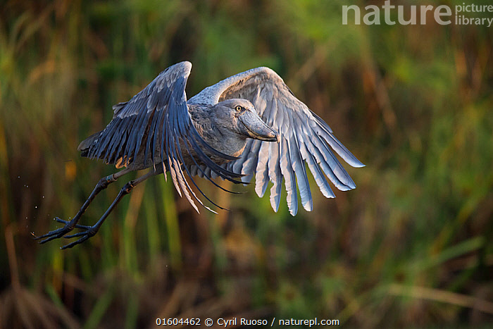Shoebill (Balaeniceps rex) in flight, Bengweulu Swamp, Zambia  ,  Animal,Wildlife,Vertebrate,Bird,Birds,Shoebill,Whale headed stork,Animalia,Animal,Wildlife,Vertebrate,Aves,Bird,Birds,Pelecaniformes,Balaenicipitidae,Shoebill,Balaeniceps,Balaeniceps rex,Whale headed stork,Whalehead,Shoe billed stork,Bog Bird,Shoebill stork,Flying,Africa,Zambia,Southern Africa,Wing,Wetland,Swamp,Endangered species,threatened,Vulnerable  ,  Cyril Ruoso