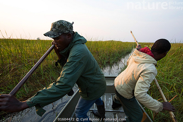 Shoebill (Balaeniceps rex) conservationist in boat travelling through swamp looking for shoebill.   Bengweulu  Swamp,  Zambia, Animal,Wildlife,Vertebrate,Bird,Birds,Shoebill,Whale headed stork,Animalia,Animal,Wildlife,Vertebrate,Aves,Bird,Birds,Pelecaniformes,Balaenicipitidae,Shoebill,Balaeniceps,Balaeniceps rex,Whale headed stork,Whalehead,Shoe billed stork,Bog Bird,Shoebill stork,People,Research,Researching,Africa,Zambia,Southern Africa,Boat,Science,Wetland,Swamp,Conservation,Endangered species,threatened,Vulnerable, Cyril Ruoso