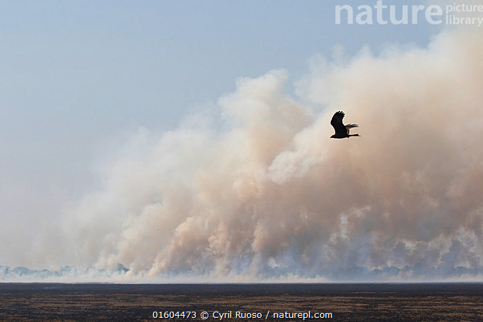 Bush fire, with bird of prey flying in distance, this is a major threat for Shoebill  (Balaeniceps rex)   during the nesting season. Bengweulu Swamp, Zambia, Animal,Wildlife,Vertebrate,Bird,Birds,Shoebill,Whale headed stork,Animalia,Animal,Wildlife,Vertebrate,Aves,Bird,Birds,Pelecaniformes,Balaenicipitidae,Shoebill,Balaeniceps,Balaeniceps rex,Whale headed stork,Whalehead,Shoe billed stork,Bog Bird,Shoebill stork,Flying,Africa,Zambia,Southern Africa,Animal Home,Nest,Nesting,Natural Disaster,Forest Fire,Forest Fires,Wetland,Swamp,Endangered species,threatened,Vulnerable, Cyril Ruoso