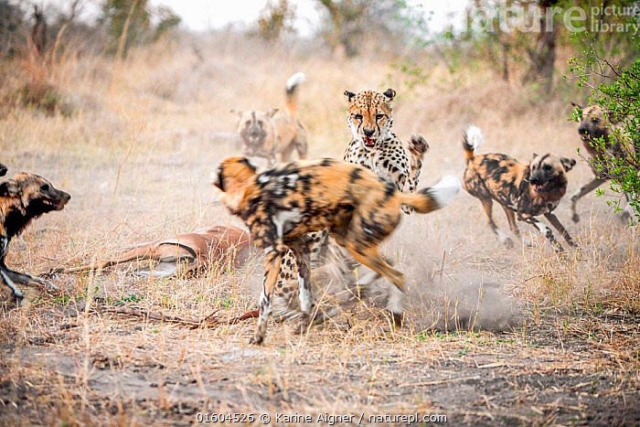 African wild dogs (Lycaon pictus) five attack a Cheetah (Acinonyx jubatus) defending its Impala kill.  Linyanti Wildlife Reserve, Botswana.  ,  acinonyx jubatus,action,african wild dog,agression,animals,attack,behavior,behaviour,botswana,cheetah,color image,day,death,defend,defending,fight,five dogs,impala,kill,lycaon pictus,morning,motion,nature,outdoors,pack,painted dog,photograph,safari,savute,savuti channel,wildlife,,Animal,Wildlife,Vertebrate,Mammal,Carnivore,Canid,Dog,African Wild Dog,Cat,Cheetah,Animalia,Animal,Wildlife,Vertebrate,Mammalia,Mammal,Carnivora,Carnivore,Canidae,Canid,Lycaon,Dog,Lycaon pictus,African Wild Dog,Cape Hunting Dog,Painted Hunting Dog,Felidae,Cat,Acinonyx,Acinonyx jubatus,Cheetah,Attacking,Africa,Southern Africa,Botswana,Animal Behaviour,Aggression,Fighting,Defensive,Feeding,Predation,Behaviour,Defense,Defence,Defending,Behavioural,Endangered species,threatened,Endangered  ,  Karine Aigner