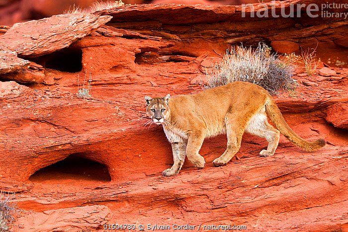 Nature Picture Library Cougar or Mountain lion (Puma